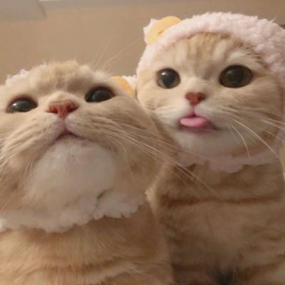 两只猫咪情侣头像高清可爱两个猫咪的情头大全图片