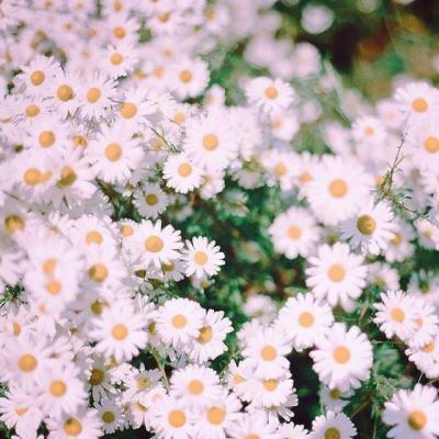 微信菊花头像风景好看菊花微信头像图片